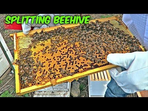 Download Youtube: Splitting a Beehive