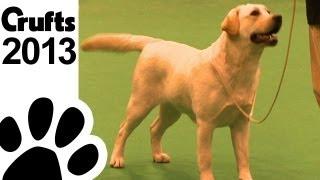 Retriever Labrador - Best Of Breed - Crufts 2013