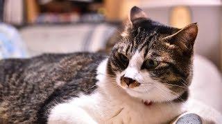 姉妹ねこシュガー&ショコラMOVIE 211(野良猫おかっぱVS家ねこショコラ編) thumbnail