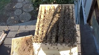 Third swarm from the same hole the same year