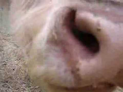 Real licking a cows asshole sexy Blowjob