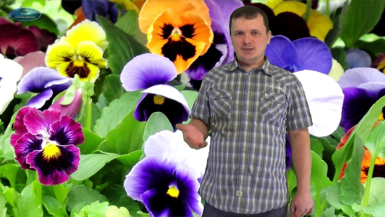 Как выращивают рассаду виолы 84