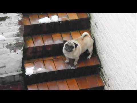 Pug carlin chien puppy, 4 ans et pas tres sportif !!!