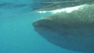 Snorkel with Whaleshark in Cancun (ジンベイザメシュノーケル カンクン)