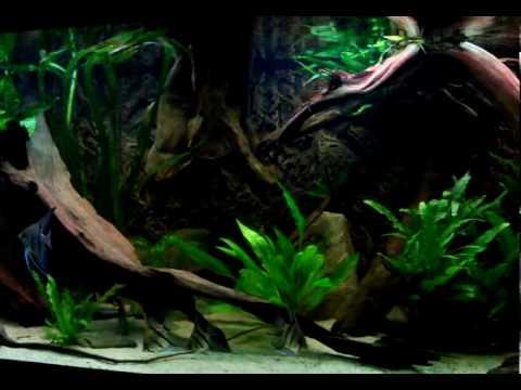 Aquarium met Peru Altums