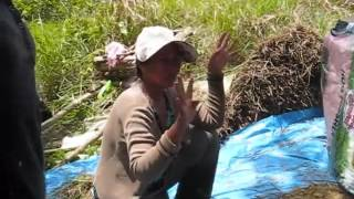 Harvesting A Crop Of Rice By Hand Up In The Mountains An Expat Philippine Lifestyles Video