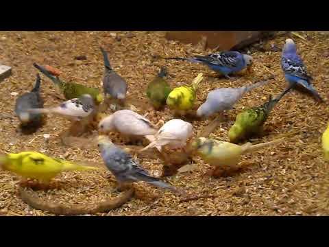 Попугаи кушают кашу.