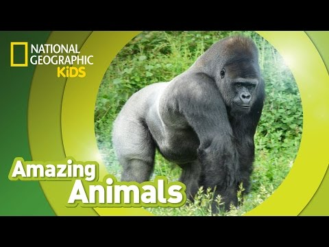 Gorilla | AMAZING ANIMALS