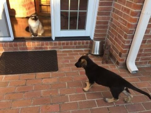 German Shepherd Puppy 🐶 Meeting 12-Year Old Ragdoll Cats Caymus and Murphy 🐱 in first 24 hours