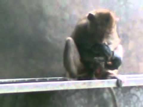The  Monkey Childbearing 猴子分娩 Khi sinh con
