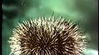 Многоклеточные животные. Тип Иглокожие