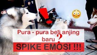 PRANK bell anjing BARU si SPIKE MARAH  - VLOG