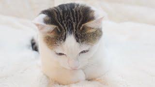 グルーミングの疑似体験をする子ねこ。-Kitten Miri simulates an experience of grooming by mother cat.-