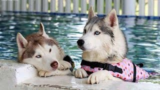 Funny And Cute Husky Puppies Compilation #9  Adorable Husky Puppy