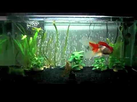 Goldfish tank update 40 gallon breeder youtube for Fancy fish tanks