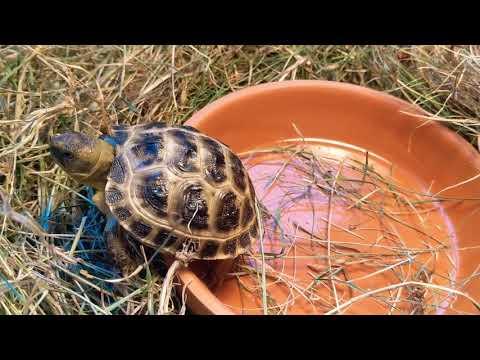 Наша черепашка Лето. Сухопутная черепаха.