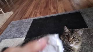 Сибирский котенок приносит игрушку) 5 месяцев Siberian cat