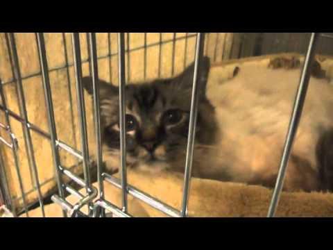 Сколько стоит котенок священной бирмы?. (вопросы и ответы о кошках на зооклубе).