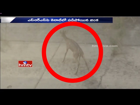 Villagers Rescue Deer From Canal At Warangal, Rural District | HMTV