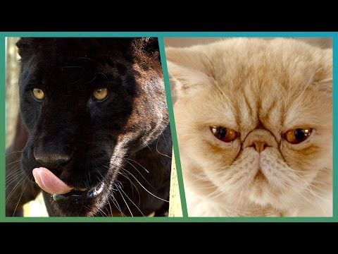 How Wild Is Your House Cat? - Earth Unplugged