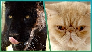 How Wild Is Your House Cat? | Earth Unplugged