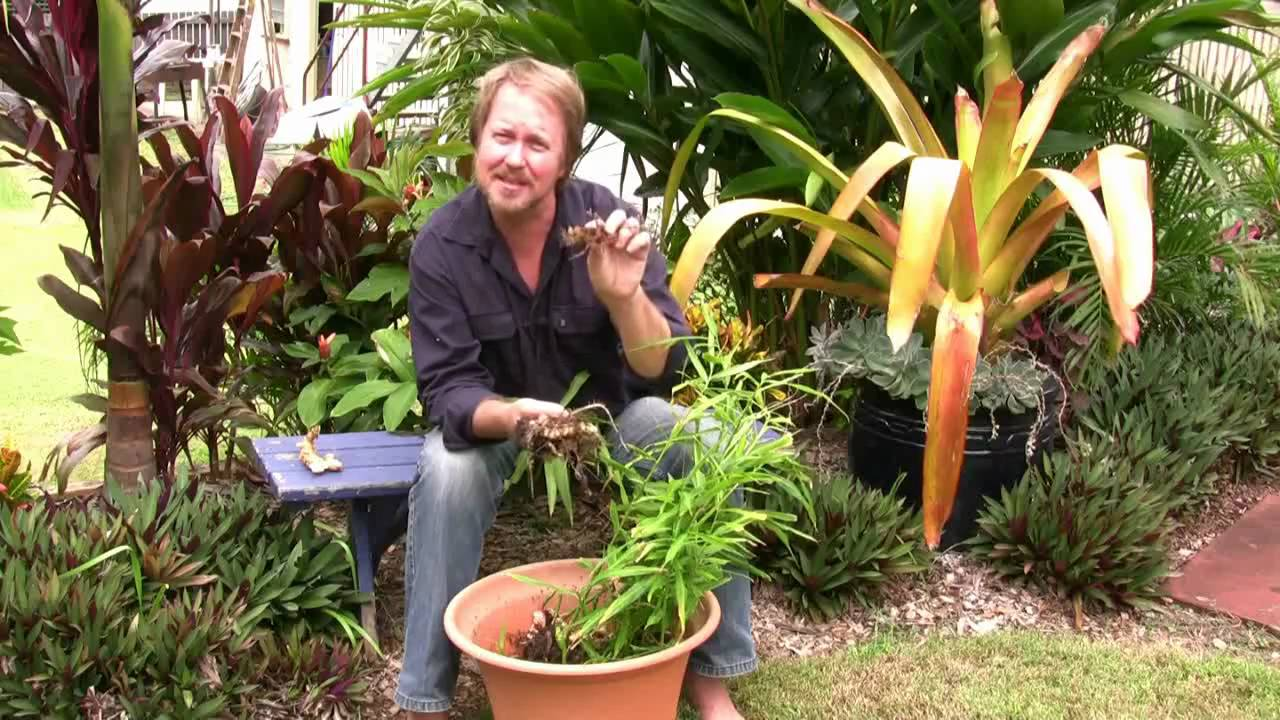 Vegetable Gardening Growing Edible Ginger How To Grow
