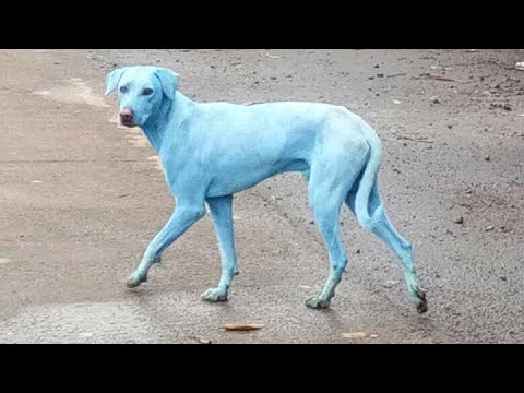Blue dogs roam the streets of Mumbai