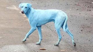 Blue dogs roam the streets of Mumbai