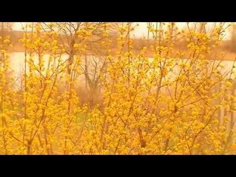 Дача: Первый цветёт КИЗИЛ  2015