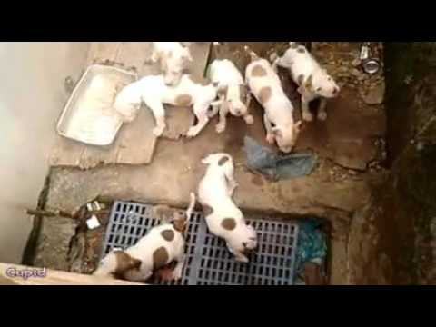 Cutest Brown American White Pitbull Terrier Puppies Youtube