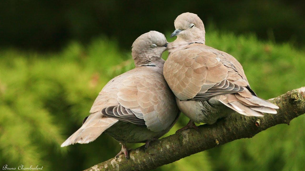 moineau tourterelle turque pinson et verdier oiseaux