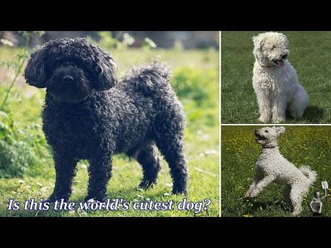 Is this the world's cutest dog? Adorable Pumi is officially recognised as a new breed