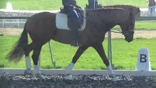 Jazzling Feet 5 y old dressage mare by Wynton-Krack C