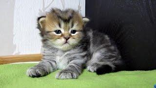 Шотландский вислоухий котенок икает