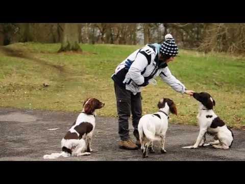 English Springer Spaniels - Ozzy, Rosie & Penny