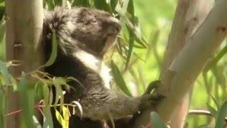 ユーカリの樹上でユーカリをパクパクと食べるコアラのそら! ほんものの...