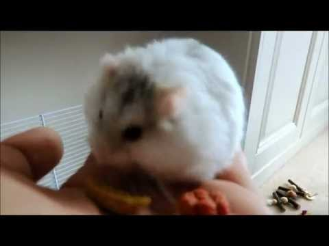 How to tame a russian dwarf hamster
