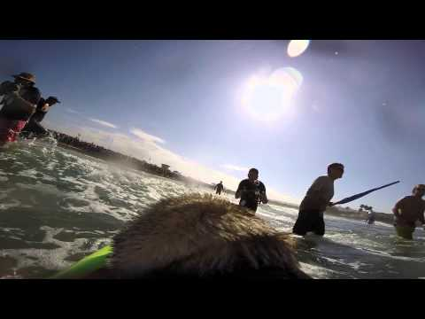 Brandy the Pug  2014 Surf Dog Surf-A-Thon Teaser