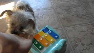 Smoothie The Shih-tzu X Pomeranian Is In Learning Of Piano, Fisrt Time Ever He Toutch Piano