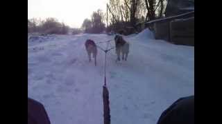 Siberian Husky. Ice Blizzard Kennel. Winter Training. 1 Part