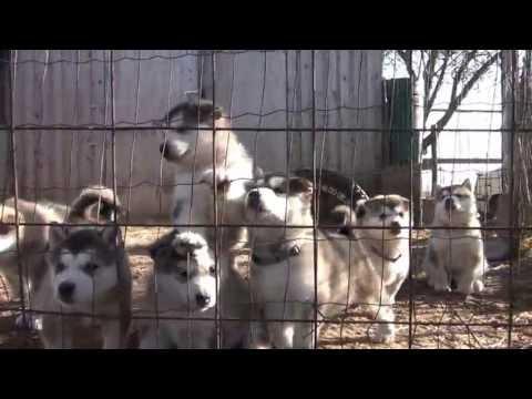 alaskan malamute puppies howling