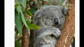Lazy Koalas Are Passionate When It Comes To LOVE | Kritter Klub