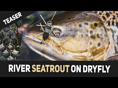 Teaser - Dry Fly Sea Trout Fishing In Rivers - Fly Fishing In Denmark