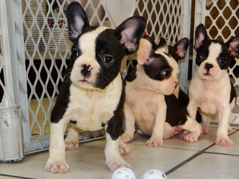 boston terrier breeders wi frenchton puppies for sale in milwaukee wisconsin 5456