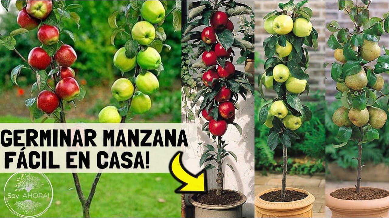 Tendrás TU ÁRBOL de MANZANAS en MACETA!! Como Germinarla desde una fruta y Plantarla🌱🍎🍏