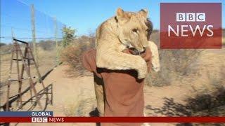アフリカのボツワナで雌ライオン「サーガ」は、自分を助けて育ててくれ...