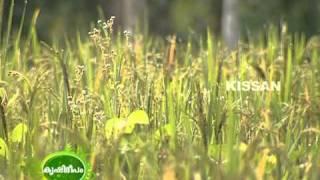 Upland paddy cultivation undertaken by Krishi Bhavan, Bharanikavu, Alleppey