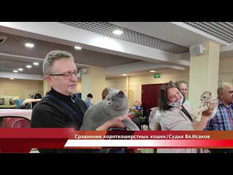 """Британская кошка Катарина на выставке """"Осенний вернисаж-2020"""""""