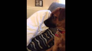 George German Shepherd Mastiff Mix