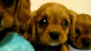 Cavalier King Charles Spaniel Puppies From Brookglenfarm.com
